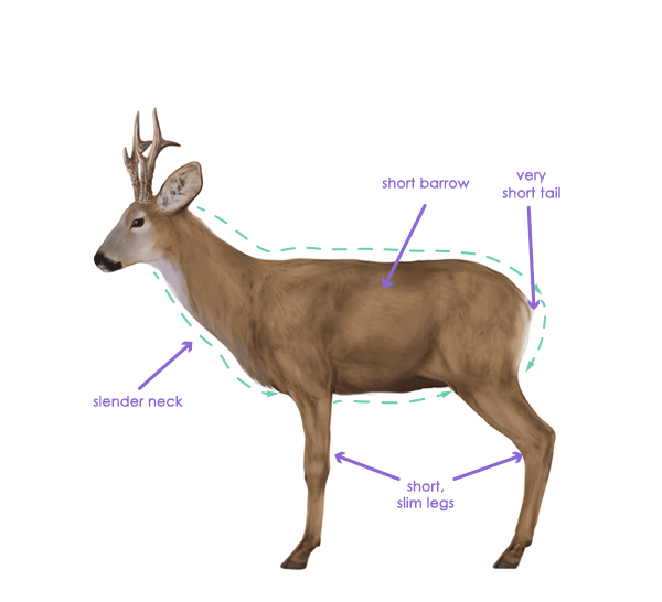 drawingdeer-2-7-roe-deer-silhouette