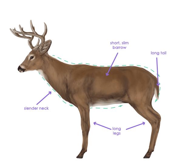 drawingdeer-2-8-white-tail-deer-silhouette