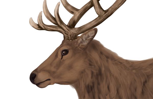 drawingdeer-5-4-red-deer-head-details