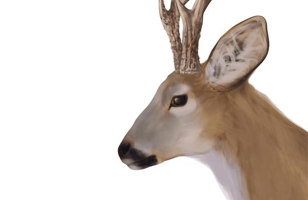 drawingdeer-5-8-roe-deer-head-details