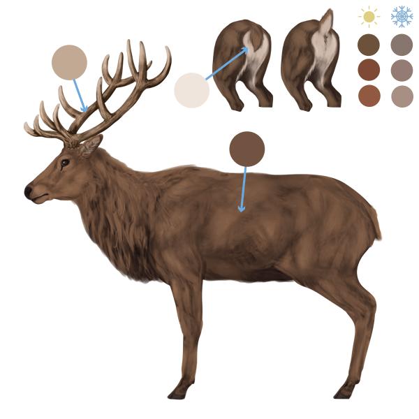 drawingdeer-6-1-red-deer-colors