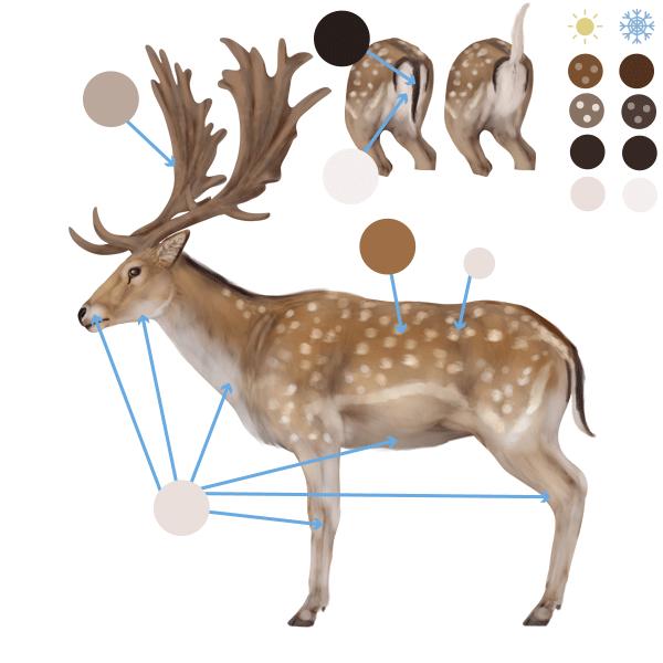 drawingdeer-6-4-fallow-deer-colors