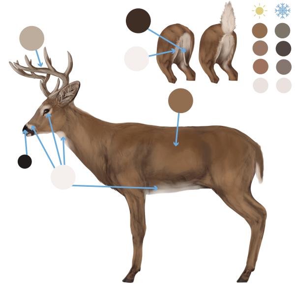 drawingdeer-6-6-white-tail-deer-colors