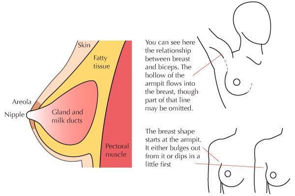 Breast anatomy and physionomy