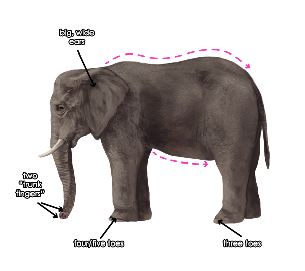 howtodrawelephants-1-3-african-elephant-features