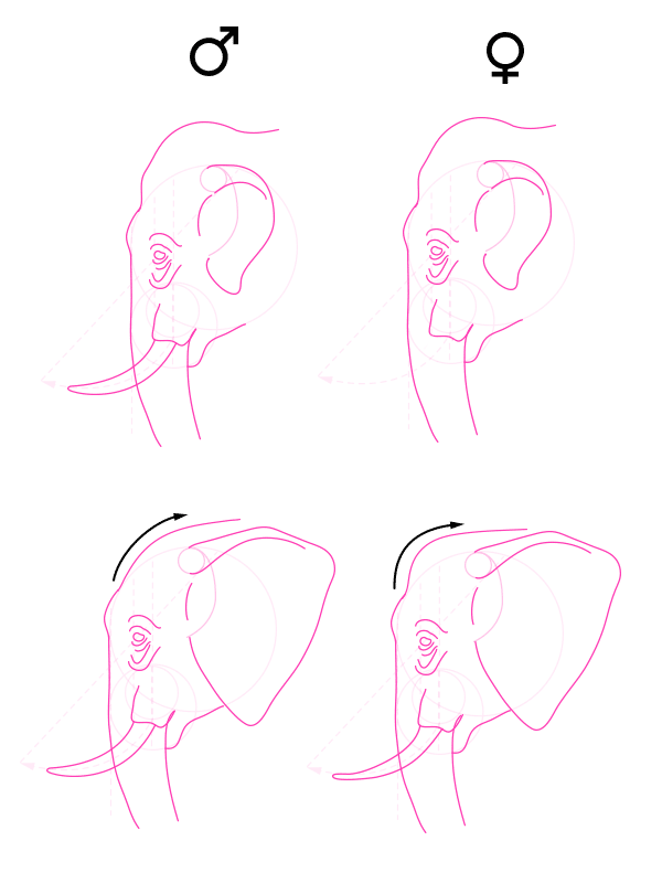 howtodrawelephants-2-3-elephant-sex-differences