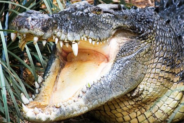 Crocodile head photo