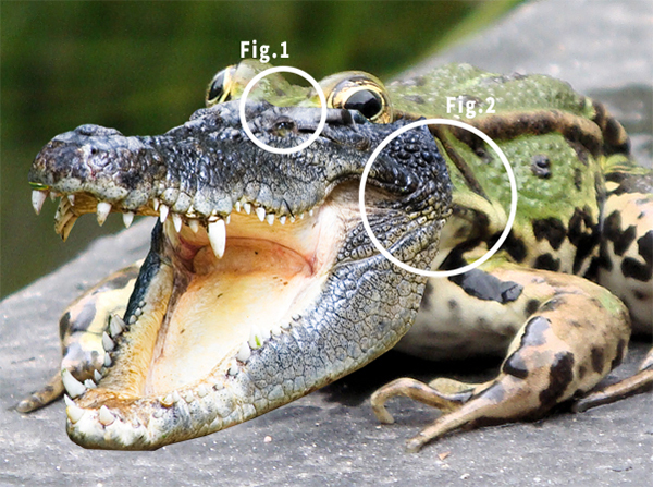 Quick Tip: Combine a Crocodile and a Frog in Photoshop