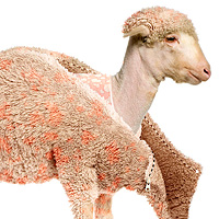Preview for Photo Effects Week: Create a Lamb's Coat in Photoshop