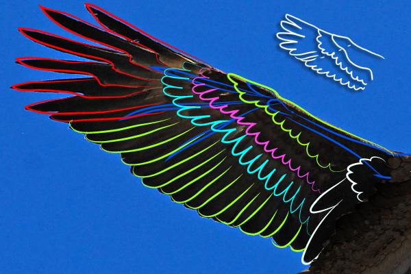 baldeagle12-1_wingstructure