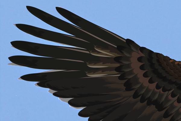 baldeagle16-2_wingredfeathers