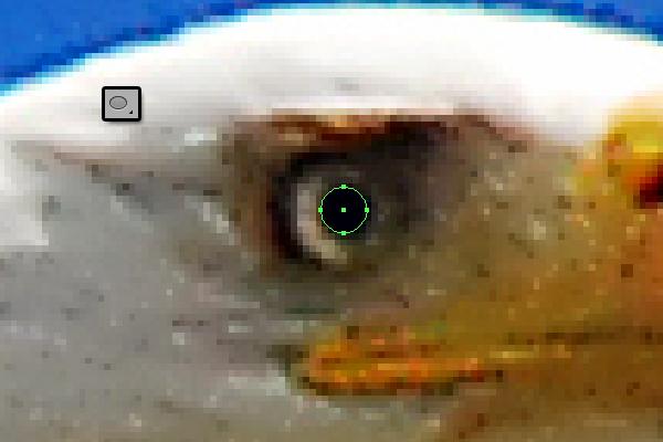 baldeagle2-1_eye1