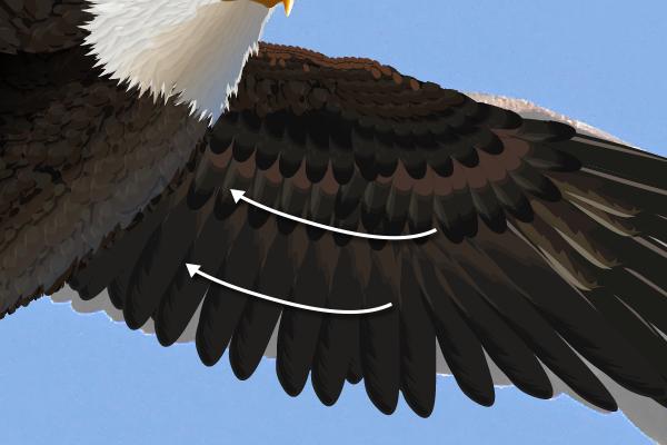 baldeagle17-3_wingrotate