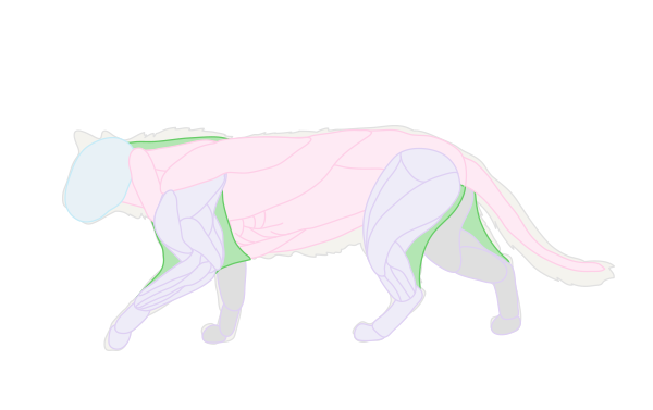 catdrawing_2-5_muscles_skin