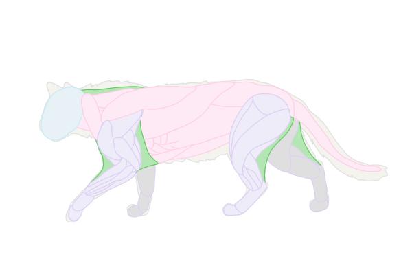 catdrawing_2-5_muscles_skin