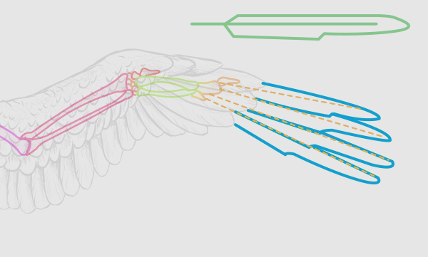 wings_2-10_birdwing_primaries