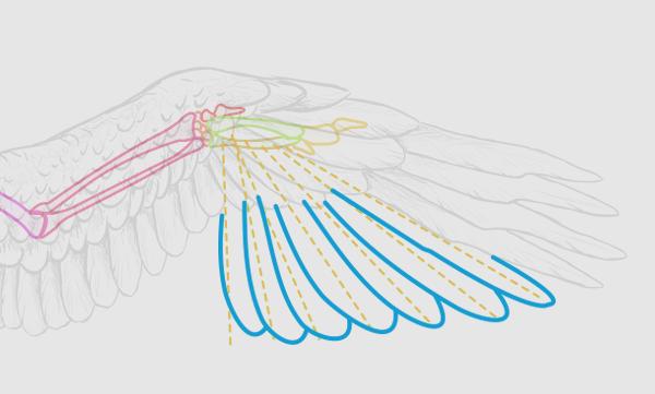 wings_2-11_birdwing_primaries