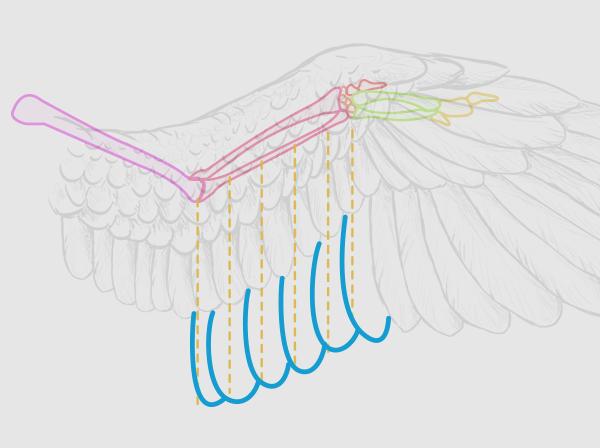 wings_2-12_birdwing_secondaries
