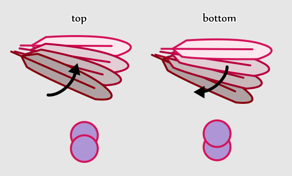 wings_2-6_birdwing_feathers_overlapping