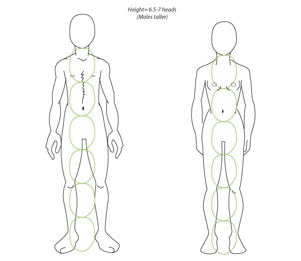 Human Anatomy Fundamentals Advanced Body Proportions