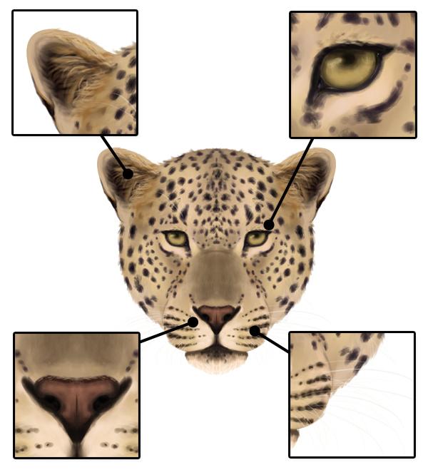 drawingbigcats_1-7_leopard_head_details_front