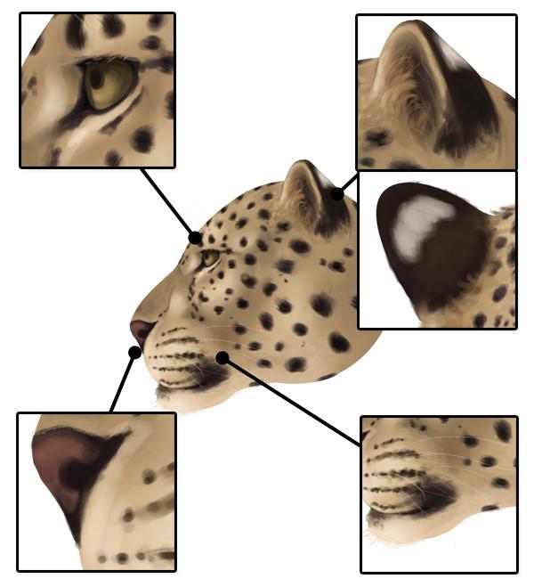 drawingbigcats_1-7_leopard_head_details_profile
