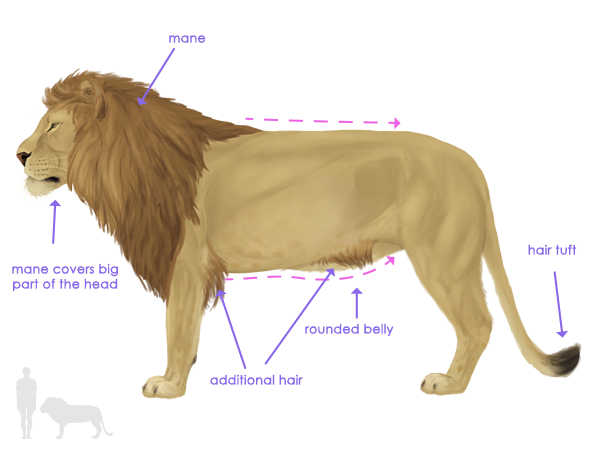 How to Draw Animals: Big Cats, Their Anatomy and PatternsEnvato Tuts+ Design & Illustration