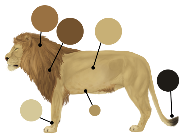 drawingbigcats_2-3_lion_colors