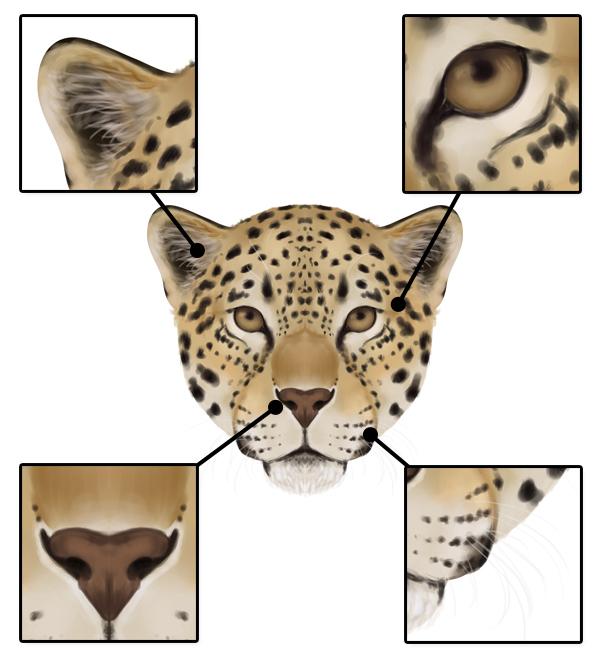 drawingbigcats_2-7_jaguar_head_details_front