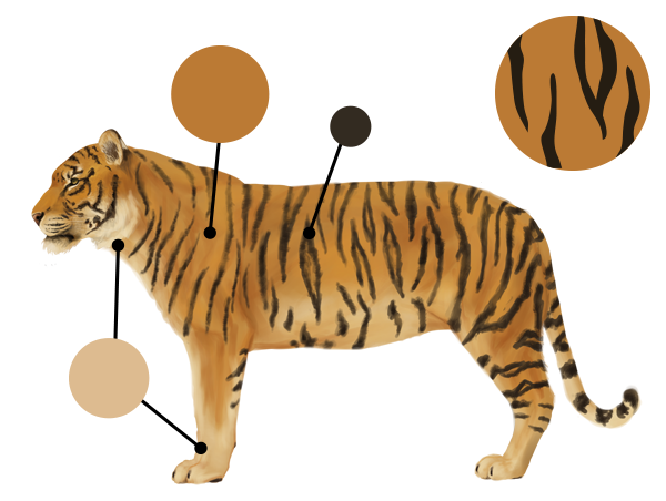 drawingbigcats_3-3_tiger_colors