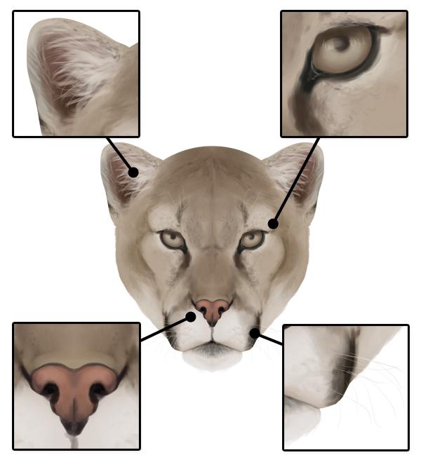 drawingbigcats_3-6_cougar_head_details_front