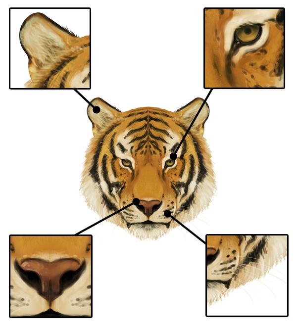 drawingbigcats_3-7_tiger_head_details_front