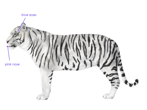 drawingbigcats_3-9_white_tiger