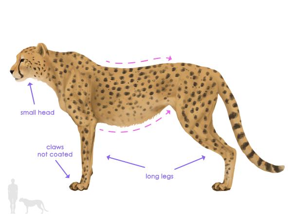 drawingbigcats_4-1_cheetah_silhouette