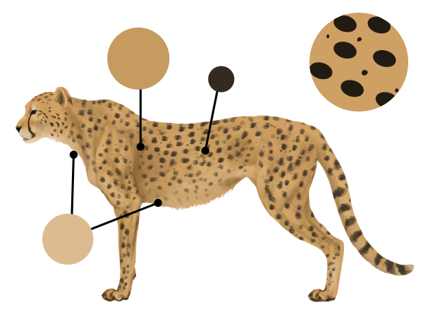 drawingbigcats_4-3_cheetah_colors