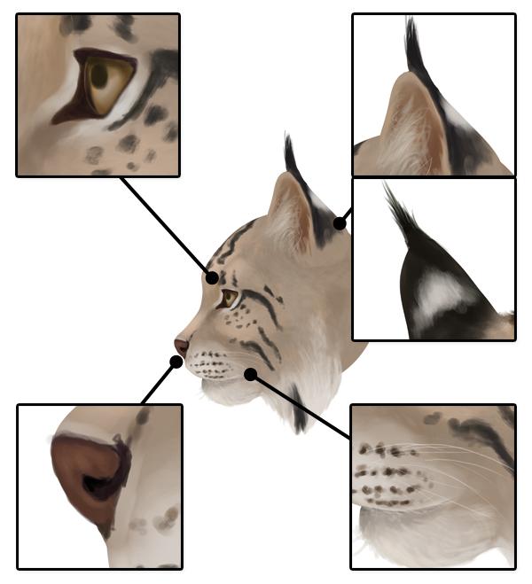 drawingbigcats_4-7_lynx_head_details_profile