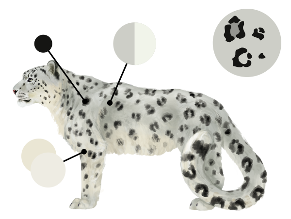 drawingbigcats_5-3_snow_leopard_colors