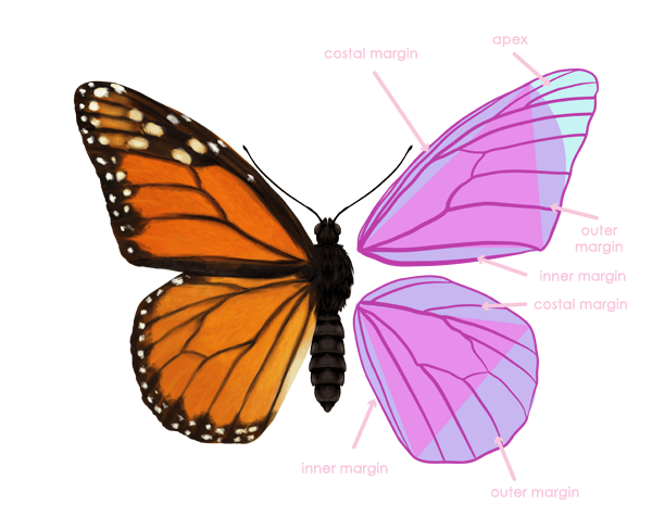 drawingbutterfly_2-4_wing_anatomy