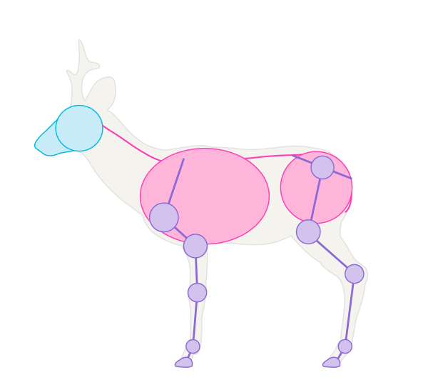 drawingdeer-1-6-roe-deer-skeleton