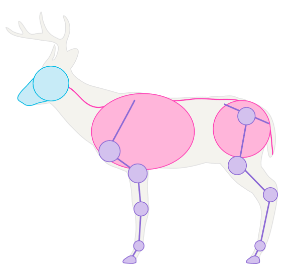 drawingdeer-1-7-white-tail-deer-skeleton