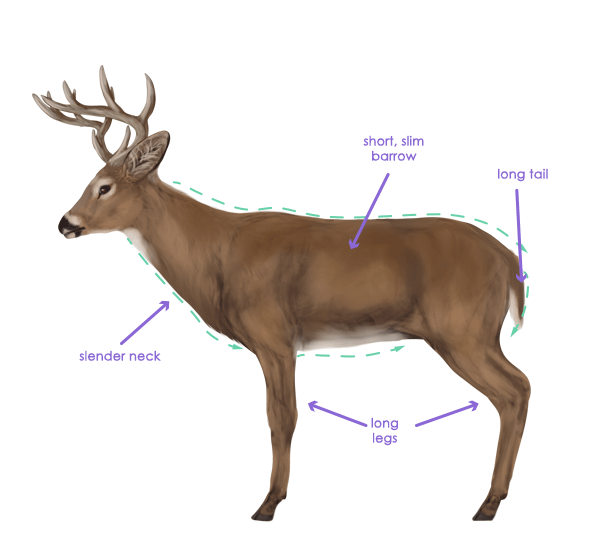 how to draw animals deer species and anatomy rh design tutsplus com white tailed deer diagram White-Tailed Deer Coloring Pages