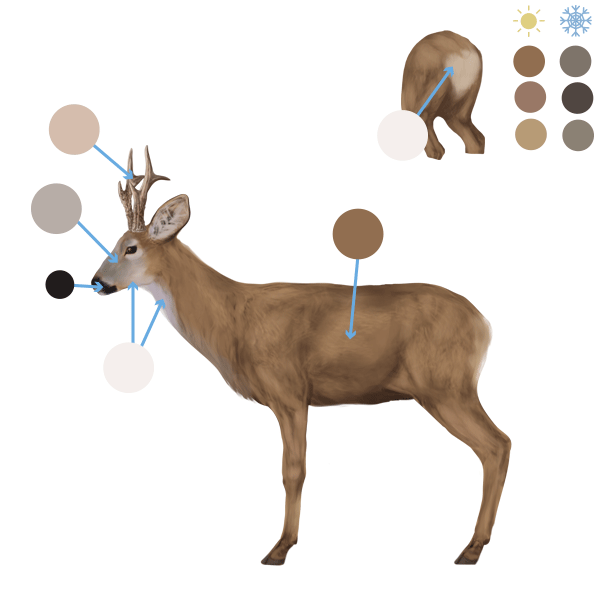 How to Draw Animals: Deer - Species and Anatomy
