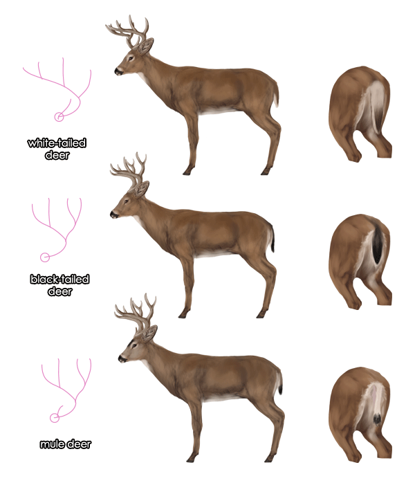 Whitetail Deer Body Diagram - Product Wiring Diagrams •