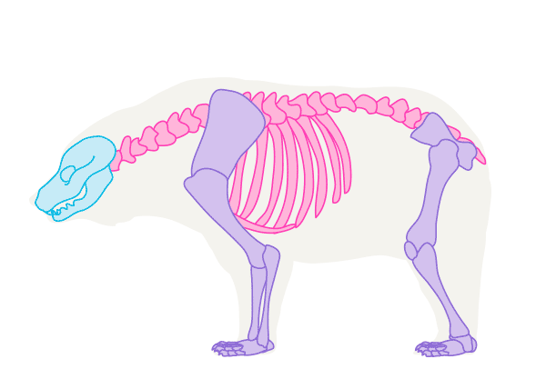 How To Draw Animals Bears And Pandas And Their Anatomy