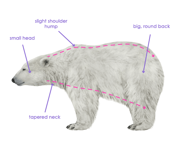 similiar polar bear diagram keywords polar bear paws diagram images pictures becuo