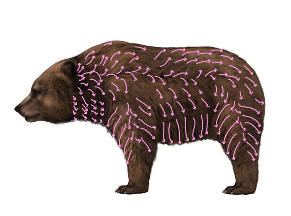 howtodrawbears-6-1-bear-fur-distribution