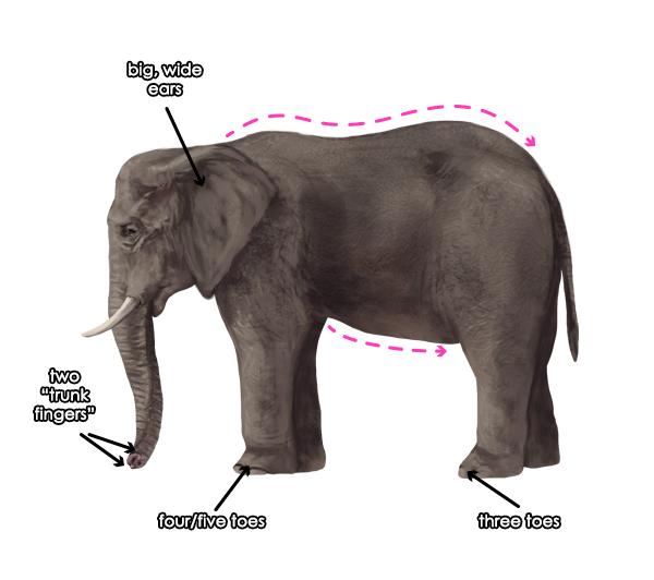 african elephant ears shaped like africa