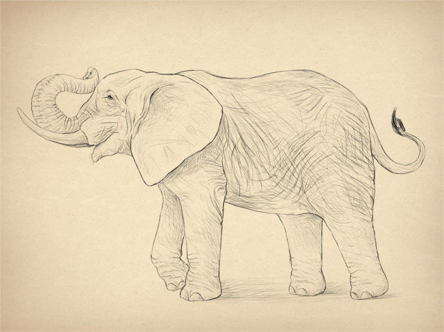 Simple Line Drawings Of Animals : How to draw animals elephants their species and anatomy
